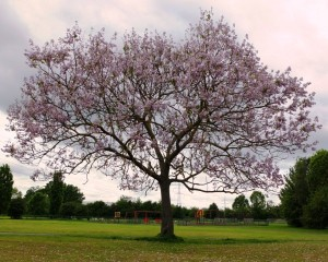 Favourite tree in Merton 1st FT 2015 (Medium)