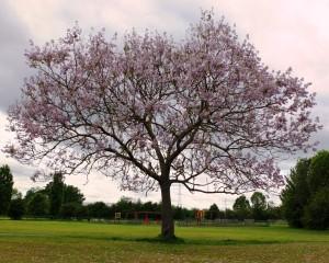 Favourite tree in Merton 1st FT 2015 (Medium)